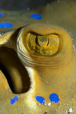 Blue Spotted Fantail Stingray (Taeniura lymma) close up of eye, Red Sea, Egypt  -  Hans Leijnse/ NiS