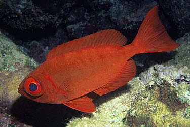 Red Bigeye (Priacanthus macracanthus) adult swimming underwater, Indonesia and Australia  -  Hans Leijnse/ NiS