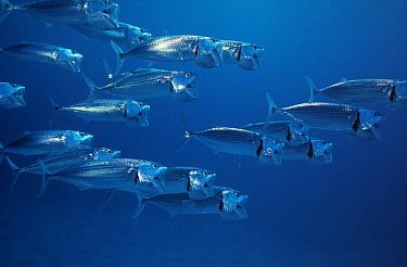 Long-jawed Mackerel (Rastrelliger kanagurta) school swimming through open ocean, Indo-Pacific  -  Hans Leijnse/ NiS