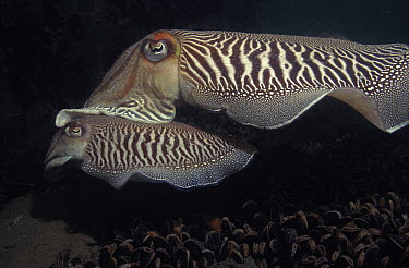 Common Cuttlefish (Sepia officinalis) pair mating, Europe  -  Hans Leijnse/ NiS