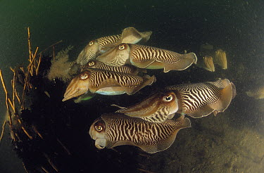 Common Cuttlefish (Sepia officinalis) group, Europe  -  Hans Leijnse/ NiS