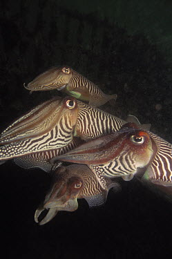 Common Cuttlefish (Sepia officinalis) group of four swimming underwater, Europe  -  Hans Leijnse/ NiS