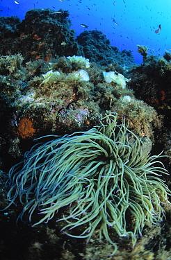 Snakelocks Anemone (Anemonia viridis) in underwater coral reef scene, Mediterranean Sea  -  Hans Leijnse/ NiS