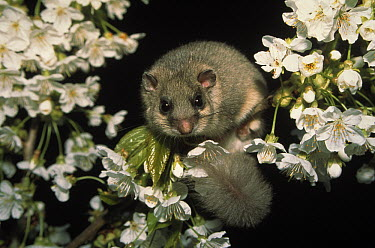 Fat Dormouse (Glis glis) adult in flowering tree, Europe  -  Ingo Arndt