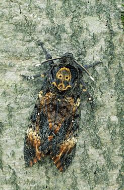 Death's Head Hawk Moth (Acherontia atropos) on tree trunk, Europe  -  Ingo Arndt