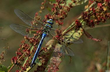 Emperor Dragonfly (Anax imperator) on vegetation, western Europe  -  Jan van Arkel/ NiS