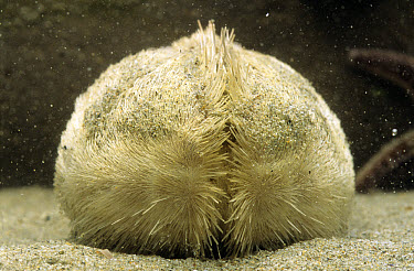 Sea Potato (Echinocardium cordatum), a heart shaped sea urchin  -  Jan van Arkel/ NiS