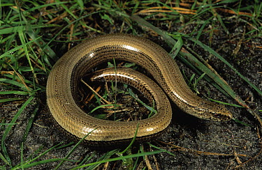 Slow Worm (Anguis fragilis) a legless lizard in grass, Europe  -  Jan van Arkel/ NiS