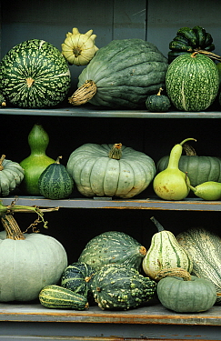 Assorted green squash and gourds  -  Jan Vermeer