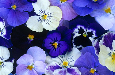 Violet (Viola sp) flowers in white and purple, Europe and North America  -  Jan Vermeer