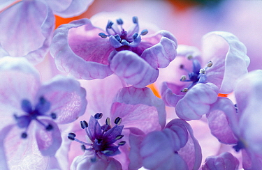 Lilac (Syringa sp) flowers, close up, native to Europe and Asia introduced into North America  -  Jan Vermeer