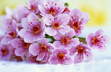 Bouquet of pink flowers  -  Jan Vermeer