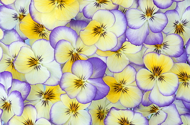 Violet (Viola sp) flowers in white, yellow and purple, Europe and North America  -  Jan Vermeer