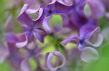 Lilac (Syringa sp) flower, close up of purple petals  -  Jan Vermeer