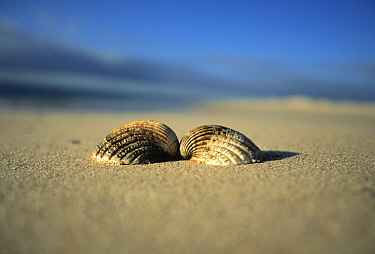 Common Cockle (Cerastoderma edule) open shell on beach sand, Europe  -  Jan Vermeer