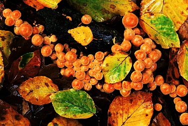 Gill Mushroom (Pholiota sp) group growing among moist leaf-litter on ground, Europe  -  Jan Vermeer