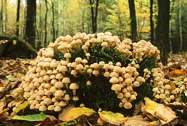 Gill Mushroom (Pholiota sp) group growing among leaf-litter in autumn woods, Europe  -  Jan Vermeer