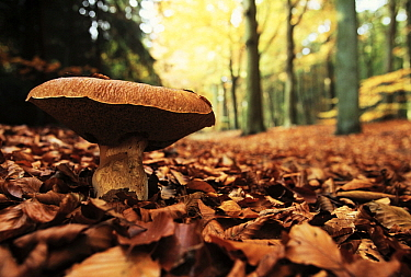 King Bolete (Boletus edulis) edible mushroom in autumn forest, Europe and North America  -  Jan Vermeer