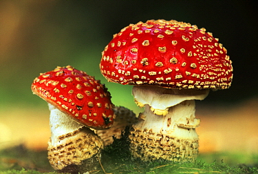 Fly Agaric (Amanita muscaria) pair, highly toxic, grows under pine trees, Europe  -  Jan Vermeer