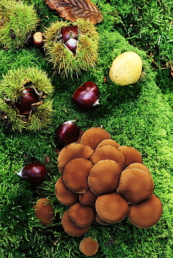 European Chestnut (Castanea sativa) open and closed fruit with mushrooms on forest floor, southern Europe, north Africa and Asia  -  Jan Vermeer