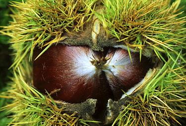 European Chestnut (Castanea sativa) open fruit detail, southern Europe, north Africa and Asia  -  Jan Vermeer