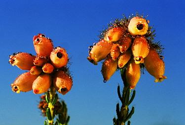 Cross-leaved Heath (Erica tetralix) flowering dwarf shrub, Europe, introduced into North America  -  Jan Vermeer