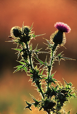 Common Thistle (Cirsium vulgare) backlit with buds and flower, Europe, introduced into North America where it is considered an invasive weed  -  Jan Vermeer
