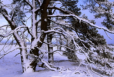 Scotch Pine (Pinus sylvestris) trees covered in snow in winter, Europe  -  Jan Vermeer