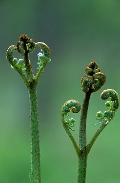Bracken Fern (Pteridium aquilinum) young fiddleheads opening  -  Jan Vermeer
