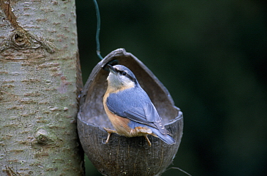 Wood Nuthatch (Sitta europaea) at feeder, Europe  -  Jan Vermeer
