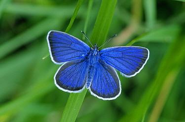 Mazarine Blue (Cyaniris semiargus) butterfly, Europe  -  Joke Stuurman/ NiS