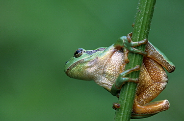 European Tree Frog (Hyla arborea) clinging to plant stem  -  Martin van Lokven