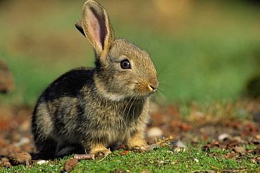 European Rabbit (Oryctolagus cuniculus) portrait, Europe  -  Michiel Schaap/ Buiten-beeld