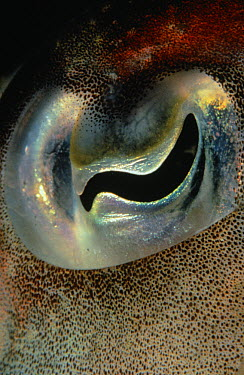 Common Cuttlefish (Sepia officinalis) eye close up, Europe  -  Peter Verhoog/ Buiten-beeld