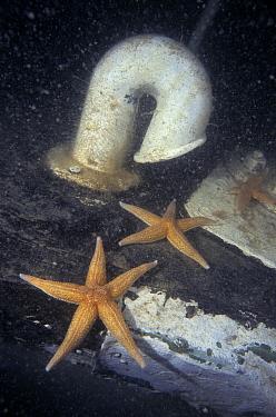 Two Starfish cling to sunken structure on sea floor  -  Peter Verhoog/ Buiten-beeld