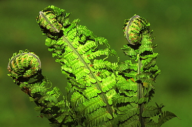 Bracken Fern (Pteridium aquilinum) young fiddleheads opening, world wide distribution  -  Philip Friskorn/ NiS