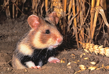 Common Hamster (Cricetus cricetus) at burrow with grain  -  Rene Krekels/ NIS