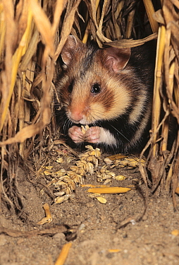 Common Hamster (Cricetus cricetus) feeding on grain  -  Rene Krekels/ NIS