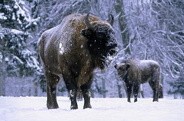European Bison (Bison bonasus) pair in snow, Europe  -  Rhinie van Meurs/ NIS