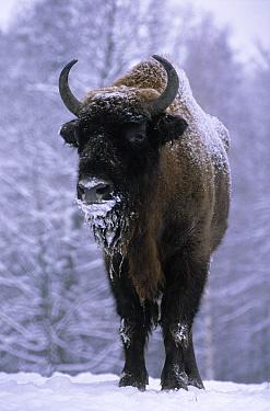 European Bison (Bison bonasus) in snow, Europe  -  Rhinie van Meurs/ NIS