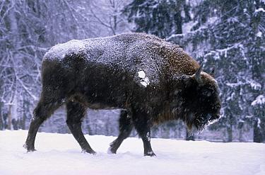 European Bison (Bison bonasus) in the snow, Europe  -  Rhinie van Meurs/ NIS