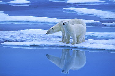 Polar Bear (Ursus maritimus) pair on ice floe, Canada  -  Rhinie van Meurs/ NIS