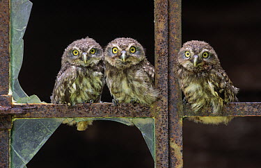 Little Owl (Athene noctua) three owlets in old barn window, Europe  -  Rob Reijnen / NiS