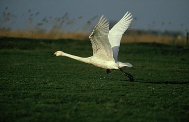 Bewick's Swan (Cygnus columbianus bewickii) taking flight  -  Steven Ruiter/ NIS