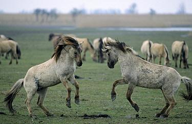 Wild Horse (Equus caballus) pair fighting, Europe  -  Steven Ruiter/ NIS