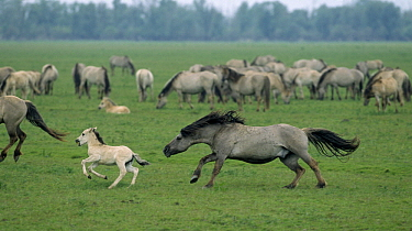 Wild Horse (Equus caballus) herd running with young, Europe  -  Steven Ruiter/ NIS