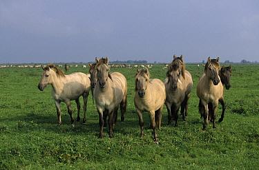 Wild Horse (Equus caballus) group, Europe  -  Steven Ruiter/ NIS