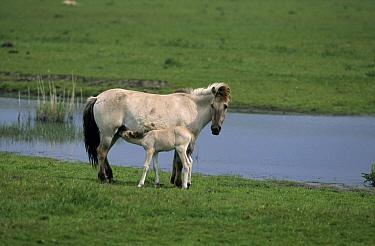 Wild Horse (Equus caballus) mother nursing foal, Europe  -  Steven Ruiter/ NIS
