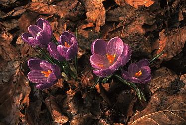 Crocus (Crocus vernus) flowering  -  Wil Meinderts/ Buiten-beeld