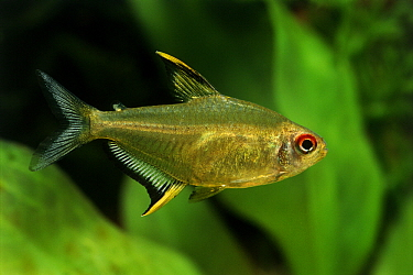 Lemon Tetra (Hyphessobrycon pulchripinnis) aquarium fish  -  Wil Meinderts/ Buiten-beeld